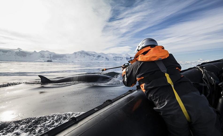 Walforscher, Dr. Elanor Bell, bringt einen LIMPET-Tag an einem Zwergwal an. Diese Walart schwimmt schneller und ist schwerer zu finden als andere Wale, daher bleiben die Markierung für bis zu zwei Monate auf der Haut des Wals. (Foto: Dave Brosha)