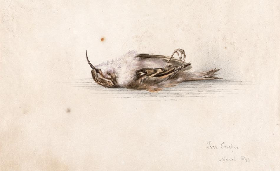 Das 118 Jahre alte Aquarellgemälde von Dr. Edward Wilson, der mit Scott zusammen auf dem Rückweg vom Südpol starb. Das Bild zeigt einen Vogel, den Baumläufer. Wilson malte es höchstwahrscheinlich als er sich in Europa von einer Tuberkulose Erkrankung erholte und er nahm es mit in die Antarktis. (Bild: Antarctic Heritage Trust)