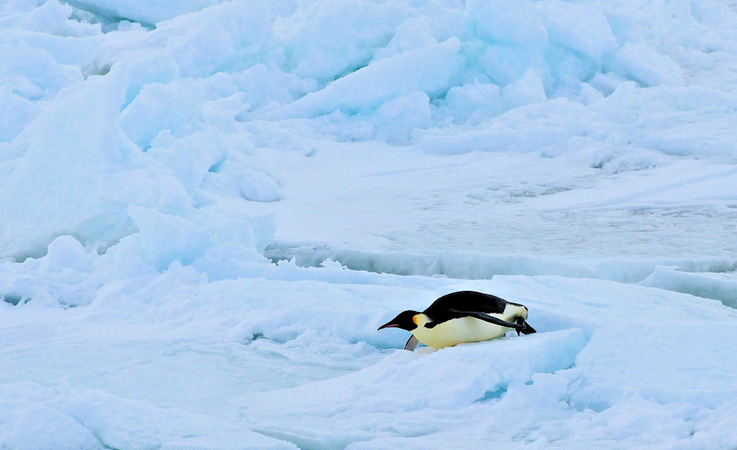 Die grössten, modernen Pinguine sind Kaiserpinguine mit Grössen zwischen 110 – 130 cm und 36 kg