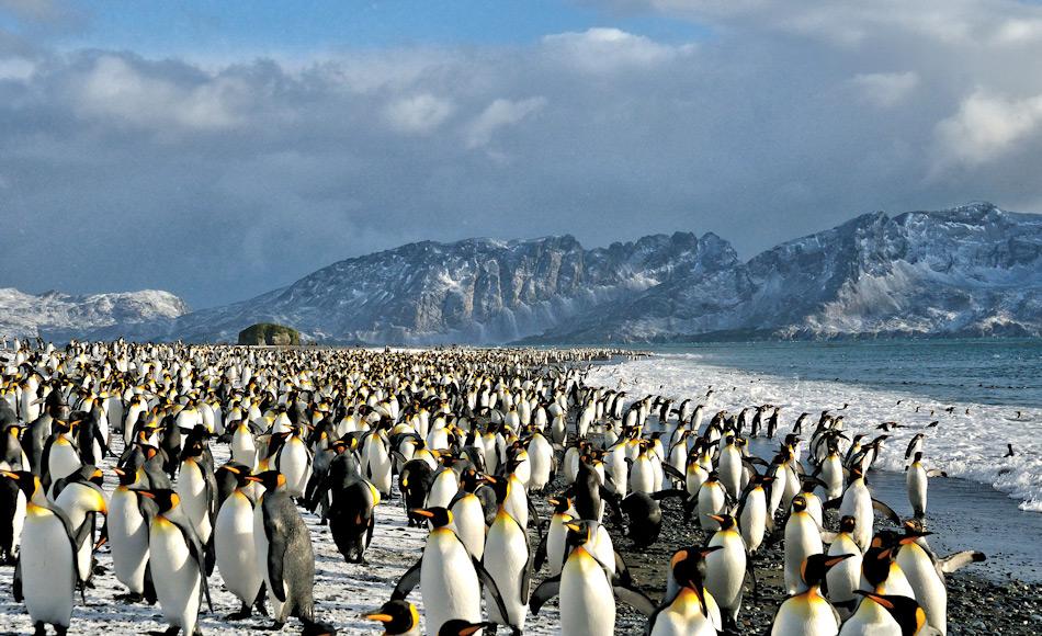 Königspinguine haben sehr spezifische Bedürfnisse an ihre Brutgebiete, sowohl klimatisch wie auch geographisch. Sie bevorzugen die flachen Strände mit viel Platz im Hinterland und wenig Meereis vorne. Bild: Michael Wenger