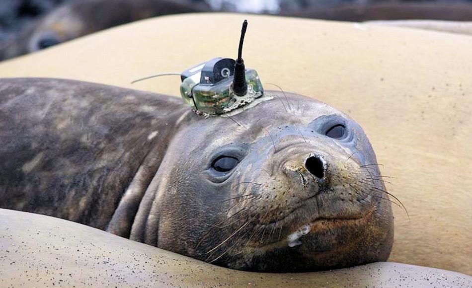 Schon seit einigen Jahren wurden auf subantarktischen Inseln Robben mit kleinen Messgeräten versehen, um ozeanographische Daten zu sammeln. Die Geräte werden aufgeklebt und fallen beim nächsten Fellwechsel wieder ab. Bild CEBC