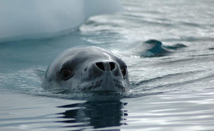 Seeleoparden sind die heimlichen Könige der Antarktis. Sie haben ein breites Nahrungsspektrum,