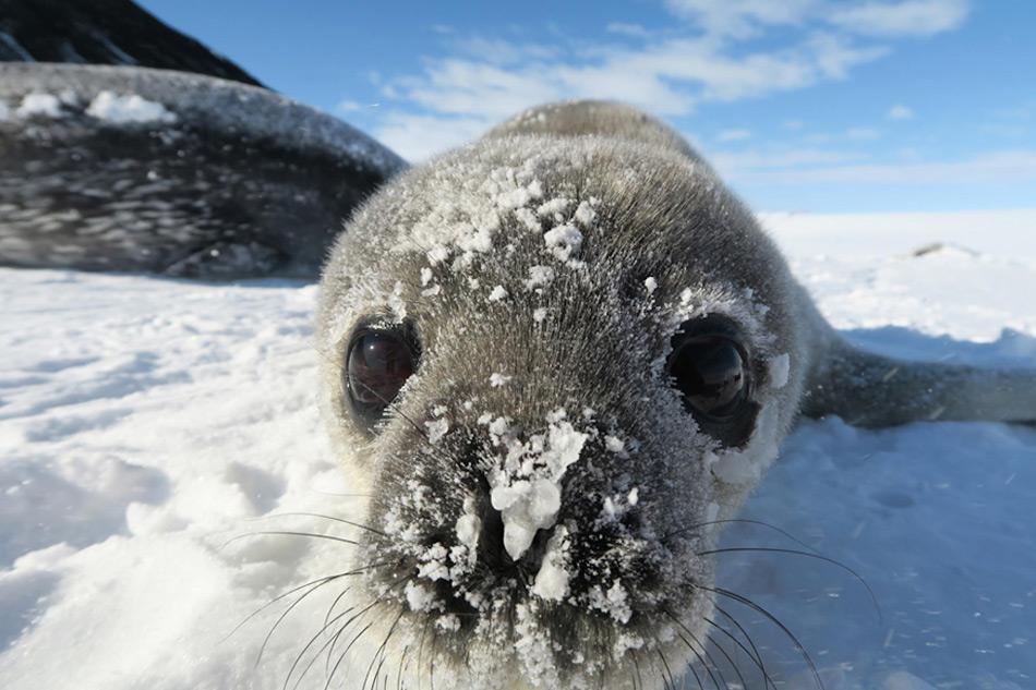 Ein neugieriges Robbenbaby untersucht die Kamera. Solche Bilder dienen zwar nicht der Forschung, aber erfreuen das Herz eines jeden Beobachters. Bild: Jay Rotella