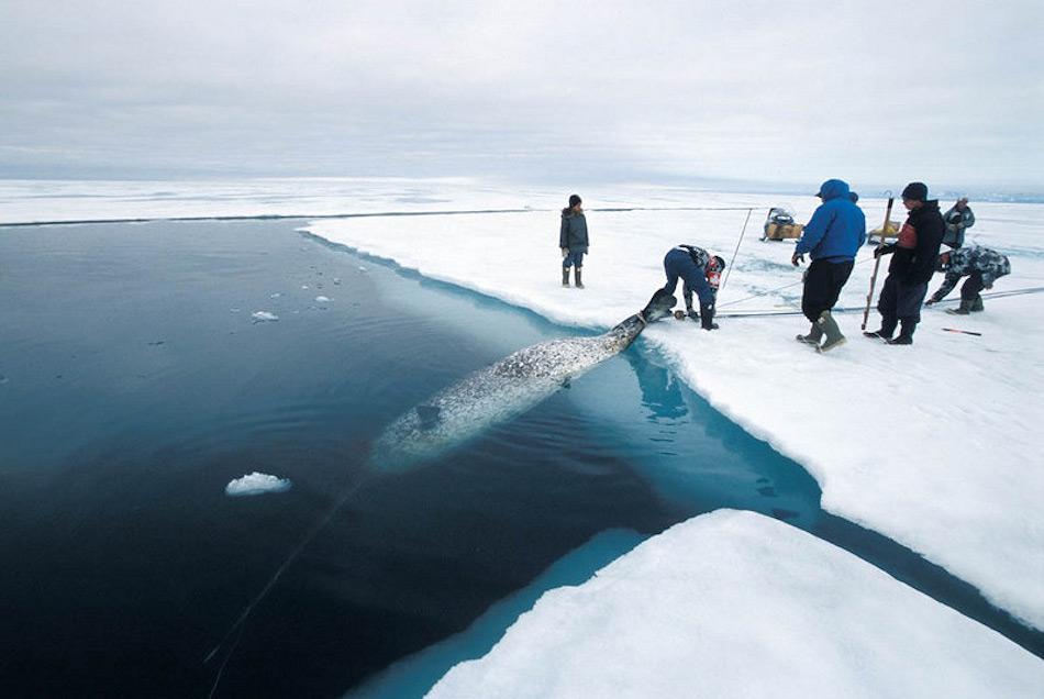 Narwale werden immer noch legal gejagt von den Inuit als Teil ihrer Nahrung und ihrer Kultur. Doch die Regierungen haben klare Abschussgrenzen gesetzt, um die Meeressäuger vor der Überfischung zu schützen.