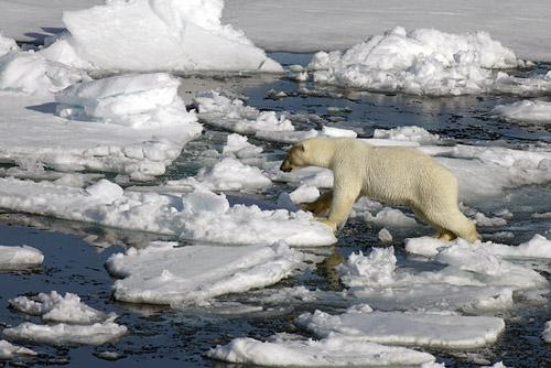 Spitzbergen-Eisbaeren